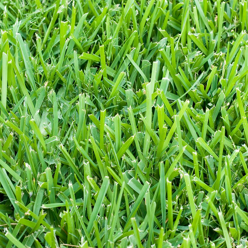 Six Florida Friendly Lawn Varieties Lawn Rangers Of Irc